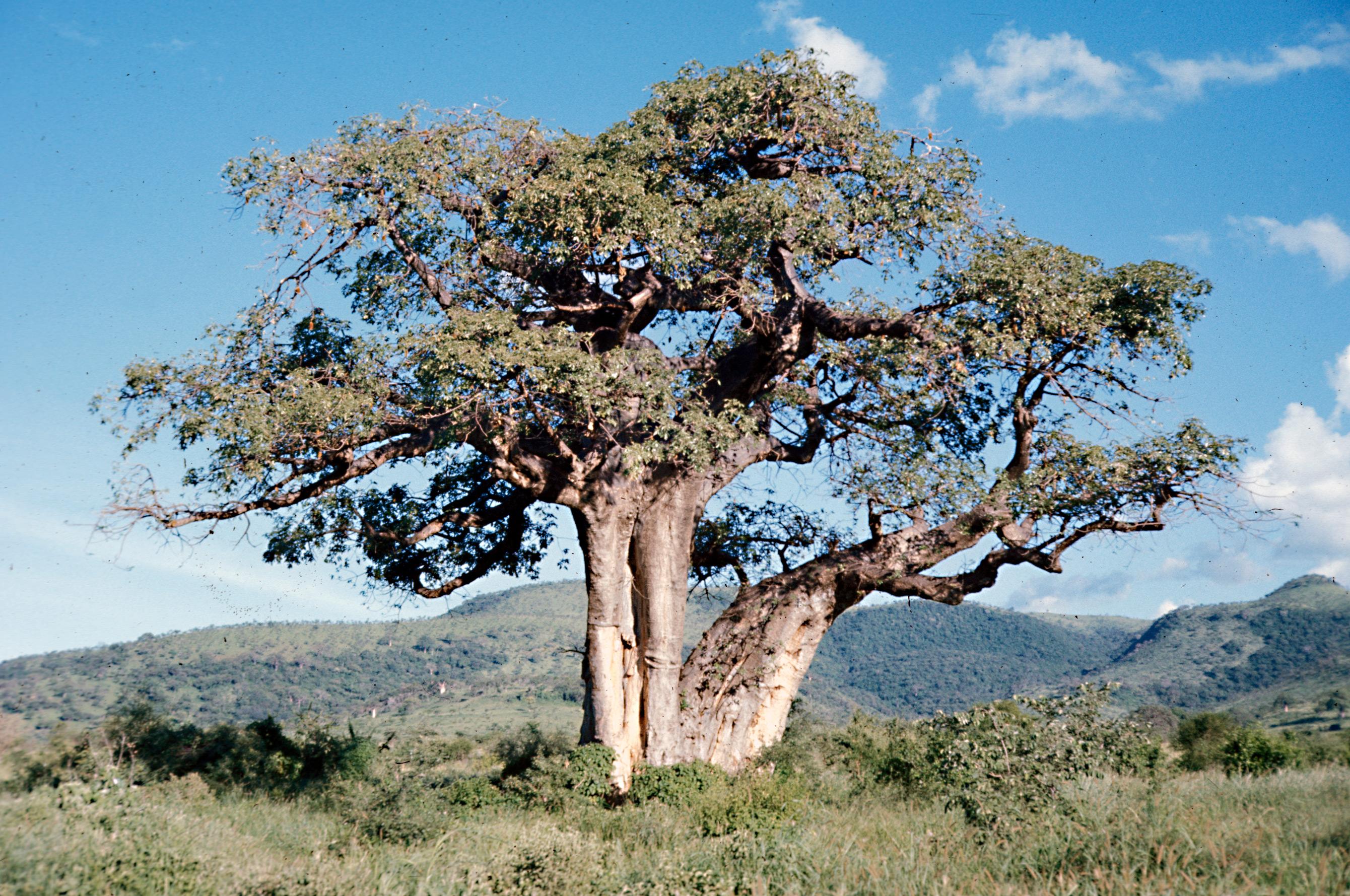 http://jrandomimage.com/images/baobab.jpg